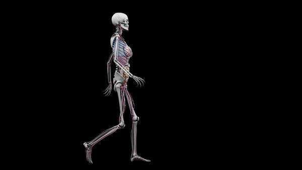 computer animation of the female body walking showing internal, Skeleton