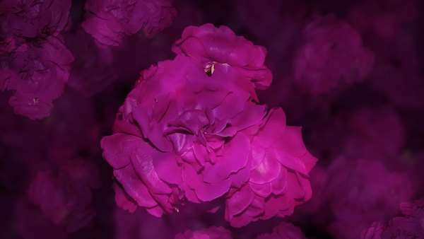 Timelapse of violet roses in darkness, suddenly blooms into a grouping of red ones. Royalty-free stock video