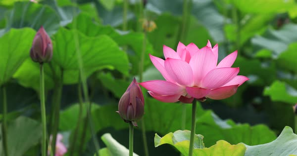 Lotus Flowers Fluttering In The Wind Stock Video Footage Dissolve