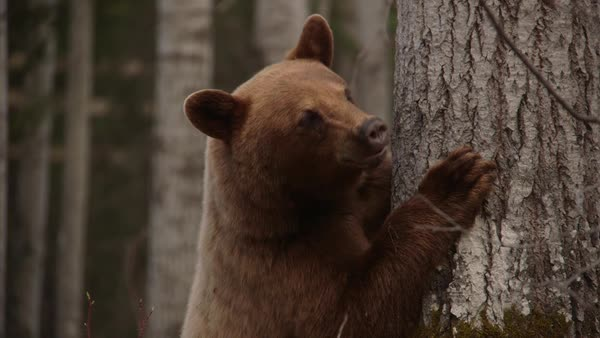 Medium shot of a bear leaning against a tree in Saskatchewan, Canada Royalty-free stock video