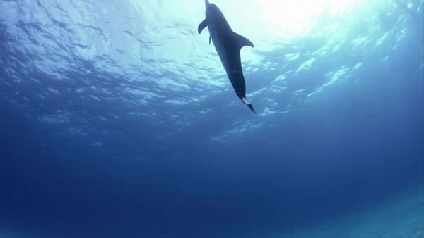 Dolphins swimming at sea Rights-managed stock video
