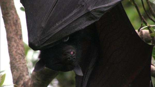 Flying fox fruit bat Rights-managed stock video