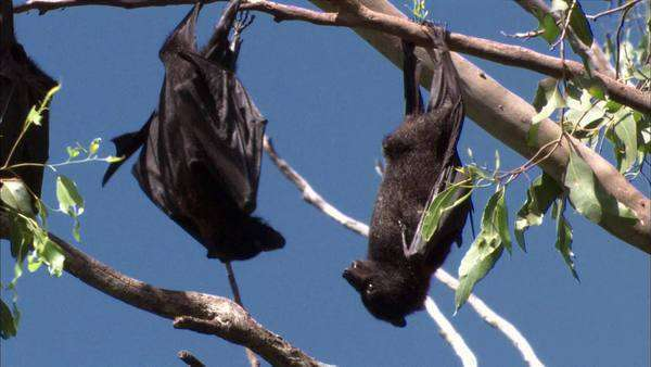 Fruit bats Rights-managed stock video
