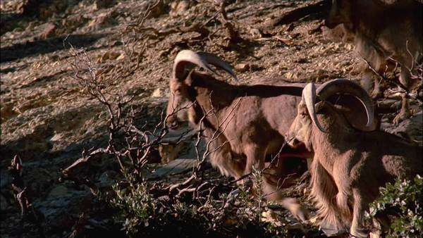 Tracking shot of mouflon rams in North Africa Rights-managed stock video