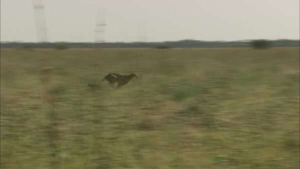 Tracking shot of a cheetah running in a field Rights-managed stock video
