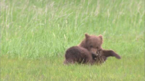 Hand-held shot of two grizzly bear cubs wrestling in a meadow Rights-managed stock video