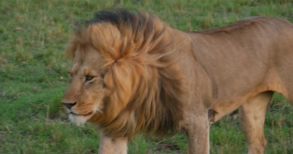 Medium shot of a lion walking in a field in Africa Royalty-free stock video