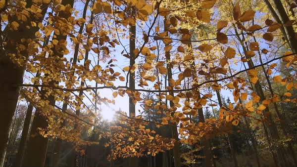 Autumn forest sunshine on branches with golden leaves Royalty-free stock video