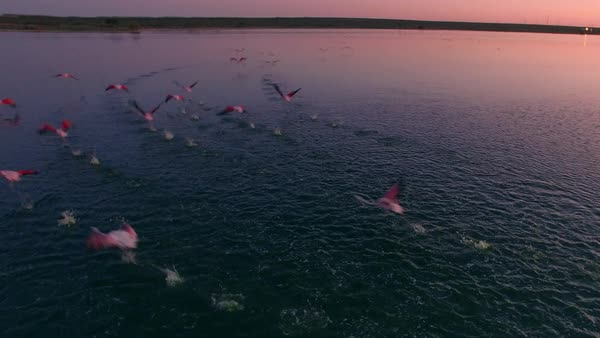 Aerial Image of a flock of flamingos flying over a lagoon in Patagonia. Royalty-free stock video