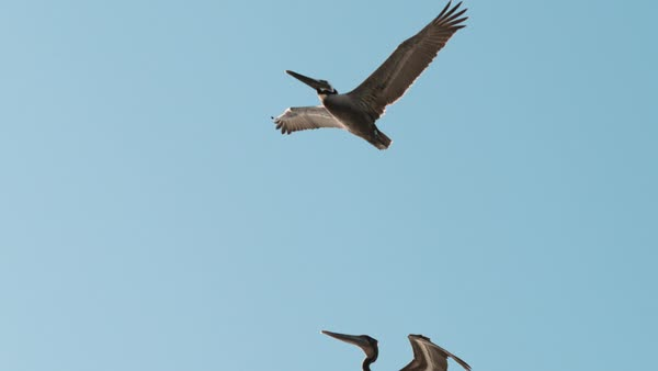 Slow motion shot of pelicans flying against blue sky Rights-managed stock video