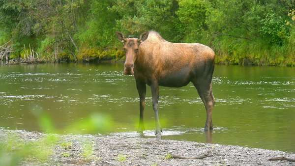 A moose standing in a river Royalty-free stock video