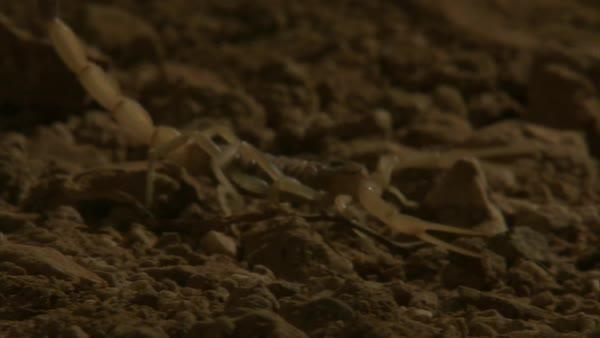 Deathstalker scorpion walks through desert  stock footage