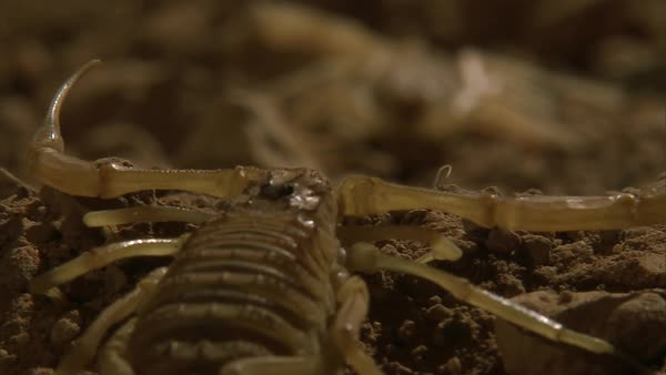 Two deathstalker scorpions face each other  stock footage