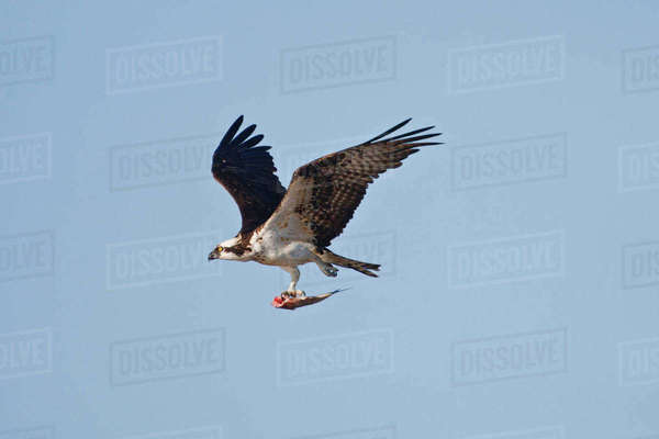 Osprey Pandion Haliaetus In Flight With Fish Texas Stock Photo Dissolve