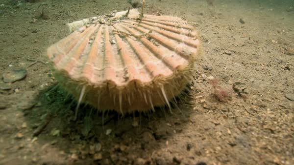 King Scallop Pecten Maximus Underwater And Turning To