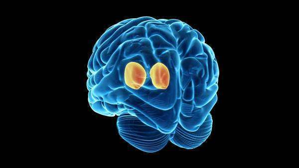 Animation of a human brain showing the thalamus. This ...