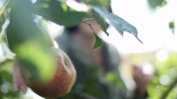 Static shot of a person picking apples from trees Royalty-free stock video