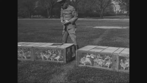 1920s - Signal Corps pigeons are released, and war hero pigeons are  decorated at a ceremony by the National Racing Pigeon Association  stock  footage