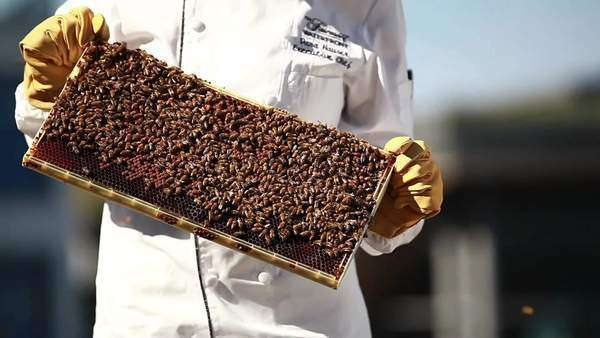 Medium close up shot of woman holding a frame swarming with honey bees Royalty-free stock video