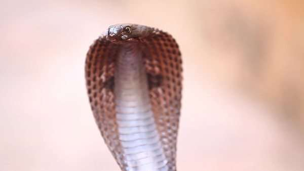 Close up shot of a cobra Royalty-free stock video