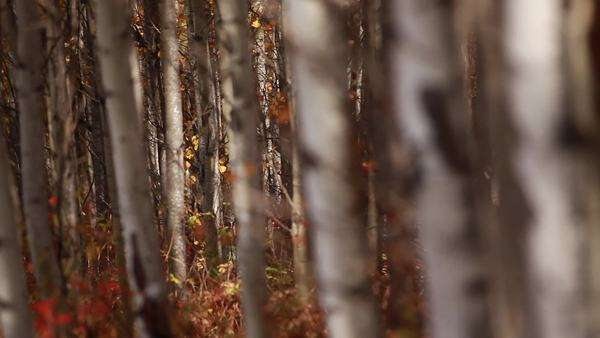 Close-up shot of trees in a birch forest Royalty-free stock video
