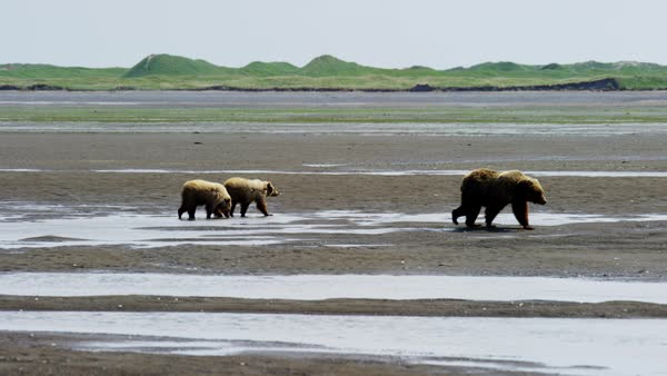 Young cubs with Alaskan mother Brown Bear Katmai Peninsula Coastline National Park Reserve Wilderness Alaska USA RED DRAGON Royalty-free stock video