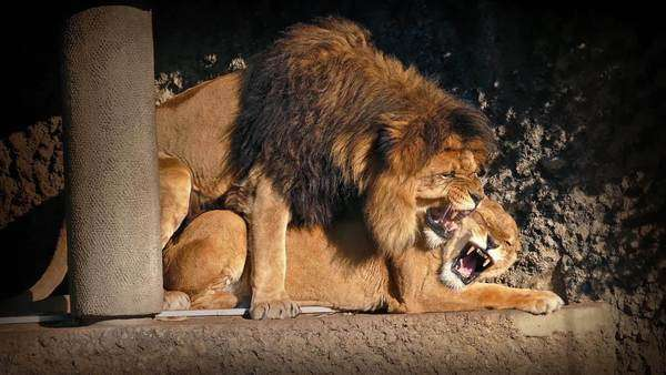 Male and female lion mating stock footage