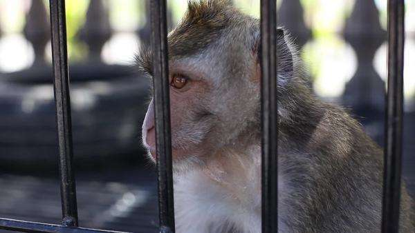 Handheld shot of a monkey standing near the metallic bars of a cage Royalty-free stock video