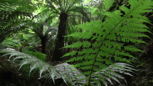SLOW MOTION CLOSE UP, DOF: Big old lush fern growing in overgrown lush wild jungle. Sun shining through dense green weeds. Large ancient fairytale fern growing in primeval untouched rainforest Royalty-free stock video
