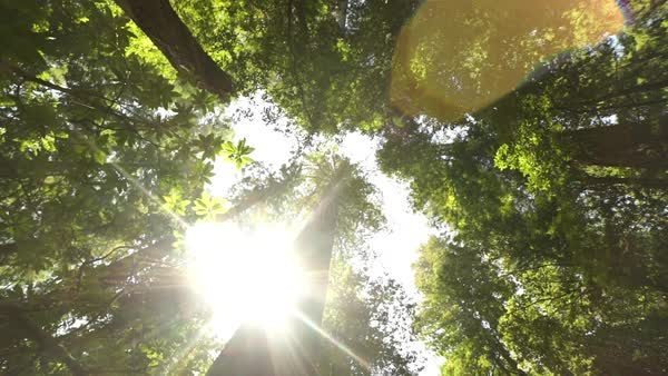 Medium shot of a sunny redwood forest Rights-managed stock video
