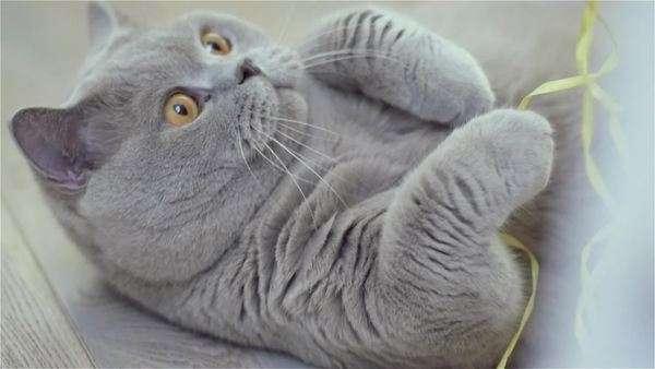 British Short Blue Cat