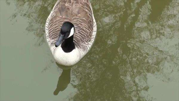 Close-up of goose swimming in dirty water stock footage