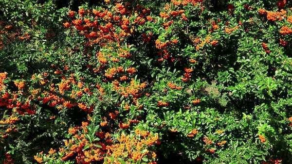 Sea Buckthorn Bush With Orange Berries Stock Video Footage