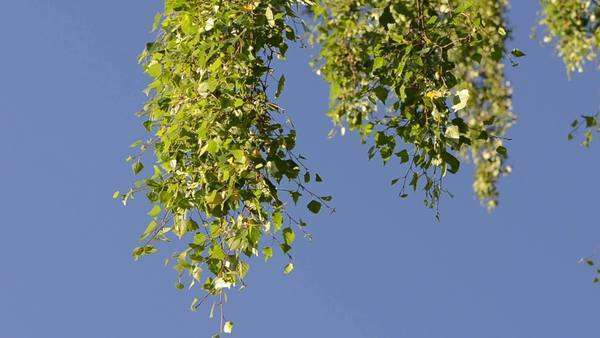 Birch tree branches moving in wind against blue sky background and birds  singing  stock footage
