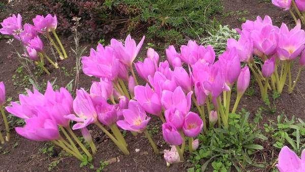 189f92ed2 Pink crocus saffron flowers grow in botanical garden in autumn. Sliding  forward - Stock Video Footage - Dissolve