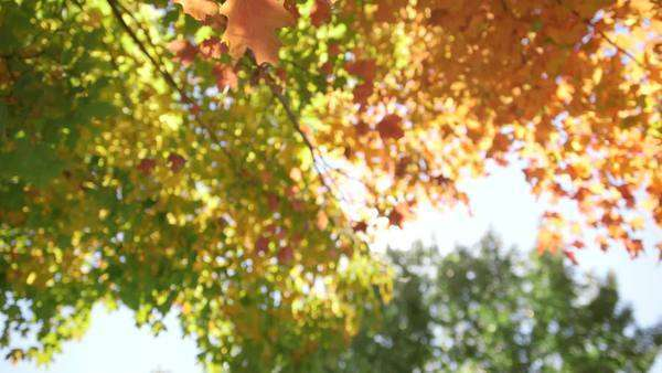 Moving handheld shot of sunlight shining through autumn foliage  Royalty-free stock video