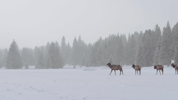 Wide-angle shot of deer herd walking in the snow Royalty-free stock video