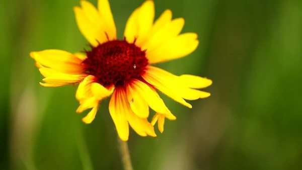 Beautiful yellow flower swaying in the wind in the middle of a field Royalty-free stock video