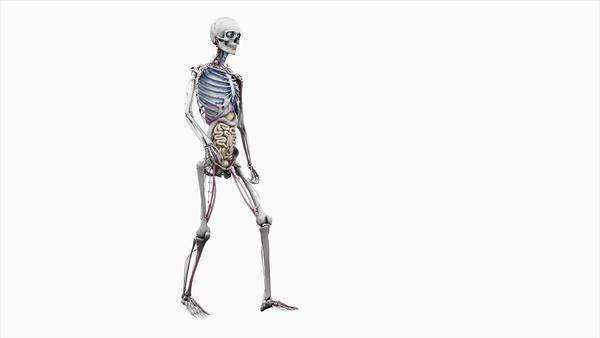 Computer animation of the male body walking showing internal organs, on a white background. Royalty-free stock video