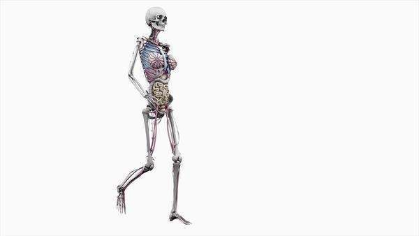 Computer animation of the female body walking showing internal organs, on a white background. Royalty-free stock video