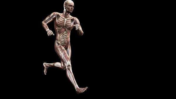 Computer animation of the male body running showing internal organs and muscles. Royalty-free stock video