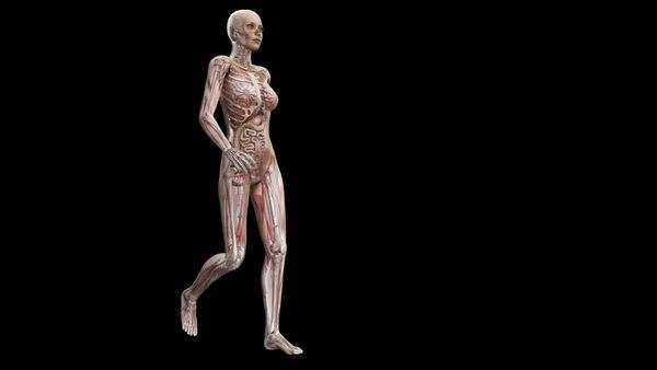 Computer animation of the female body walking showing internal organs and muscles. Royalty-free stock video