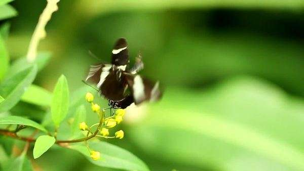 A black butterfly with white and red sips nectar from a cluster of orange flowers as another tries to land on the same flower Royalty-free stock video