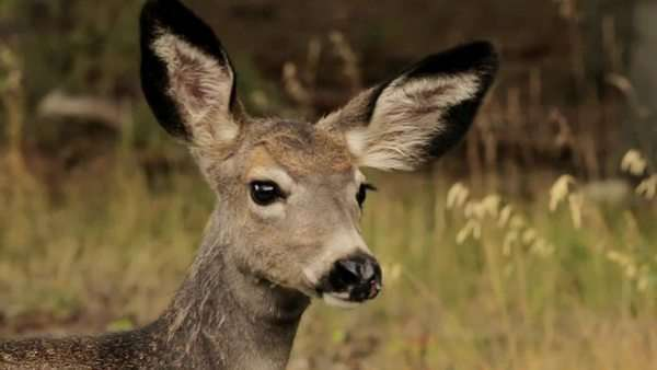 Close up of a doe standing in a clearing of dry grass in the mountains Royalty-free stock video