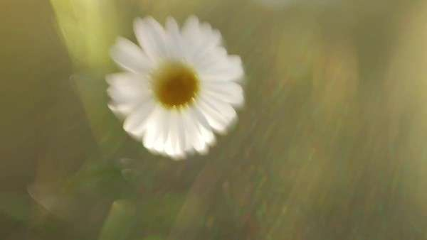 Solitary daisy floats in the blurred sunlight, swaying in the breeze Royalty-free stock video