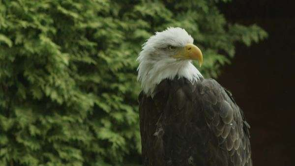USA American Bald Eagle Royalty-free stock video