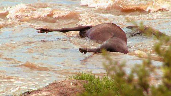 A rotting corpse of a wildebeest lies in a river in Africa. Royalty-free stock video