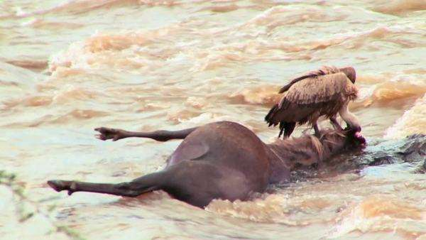 A vulture sits on a rotting corpse of a wildebeest in a river in Africa. Royalty-free stock video