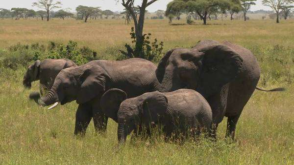 A group of three elephants graze on the Serengeti plains. Royalty-free stock video