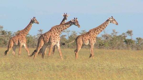 Giraffes walk through golden grasslands in Africa. Royalty-free stock video
